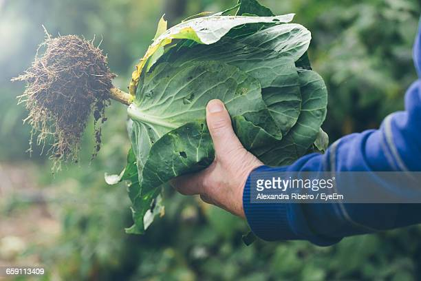 Cropped Of Man Holding Cabbage