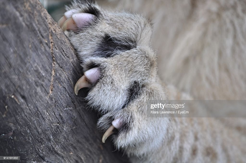 Cropped Paw Of Lion Climbing On Tree Trunk : Stock Photo