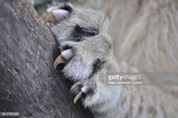 cropped paw of lion climbing on tree trunk - lion feline stock pictures, royalty-free photos & images