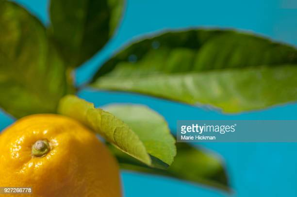 Cropped photo of a lemon with green leaves and blue sky.