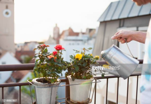 cropped shot of man watering freshly planted roses in window box on the balcony - balcony stock pictures, royalty-free photos & images