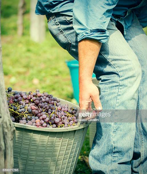 Cropped shot of young male farmer pulling baskets of grapes, Premosello, Verbania, Piemonte, Italy