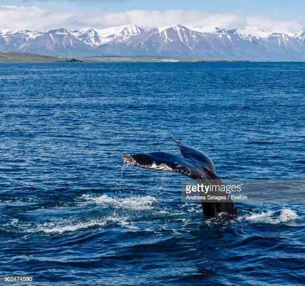 Cropped Tail Of Humpback Whale Swimming In Sea During Winter