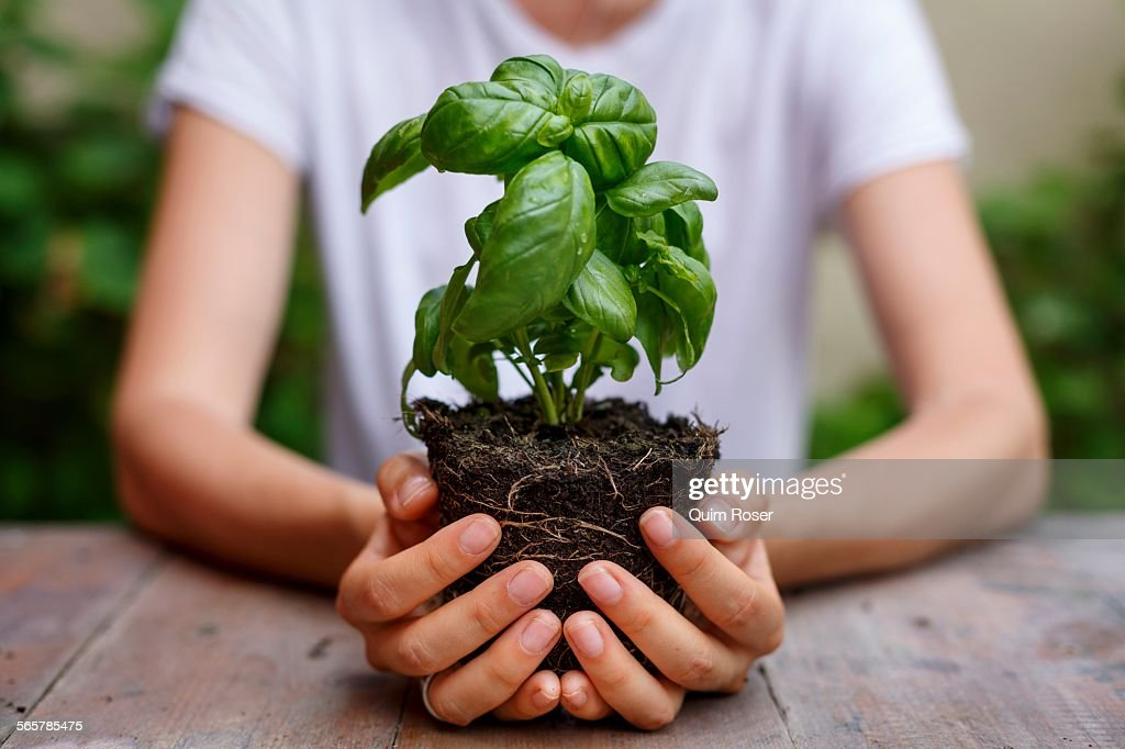 Cropped view of hands holding basil plant : Stock Photo