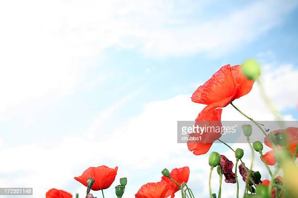cropped view of wild poppies with sky in the background - remembrance sunday stock pictures, royalty-free photos & images