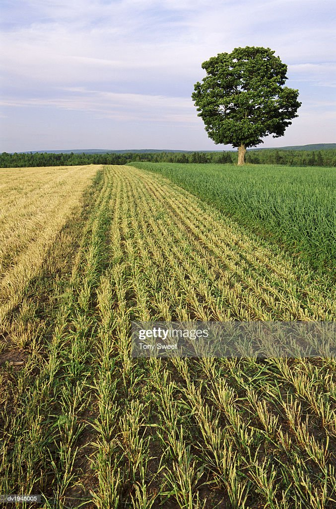 Crops and Tree, Sussex : Stock Photo