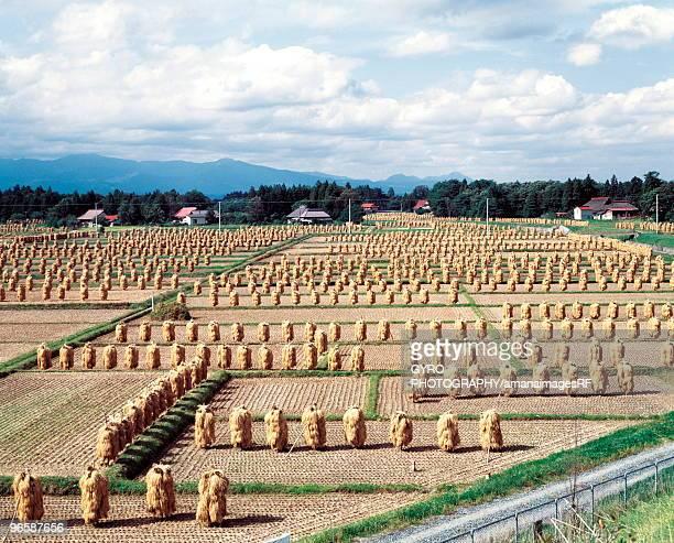 crops dried in fields, iwate prefecture, japan - 岩手県 ストックフォトと画像