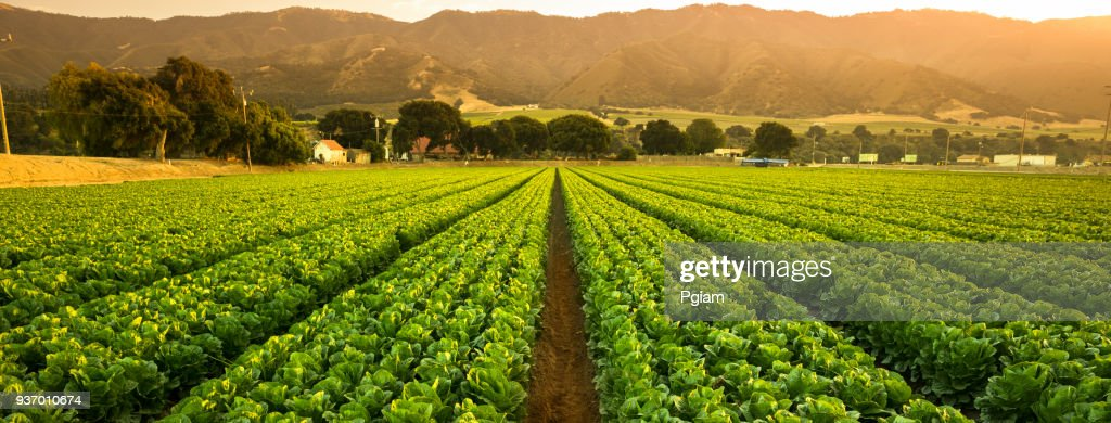 Crops grow on fertile farm land panoramic before harvest : Stock Photo