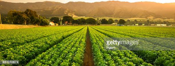 crops grow on fertile farm land panoramic before harvest - campo foto e immagini stock