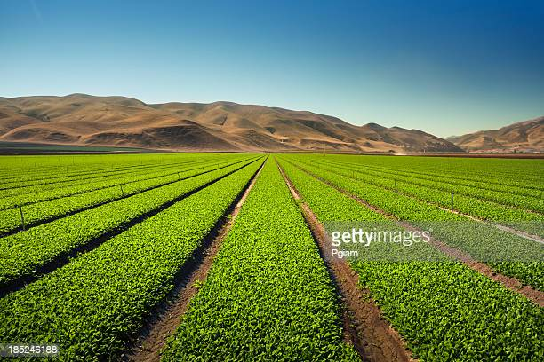 crops grow on fertile farm land - central california stock pictures, royalty-free photos & images