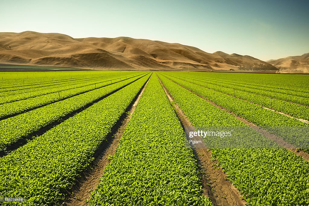 Crops grow on fertile farm land : Stock Photo
