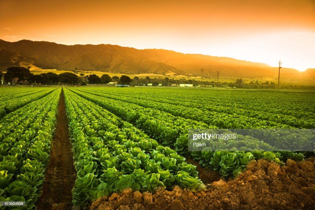 Crops grow on fertile farm land : Stock Photo