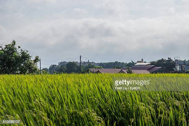 crops growing on agricultural field - liu he stock pictures, royalty-free photos & images