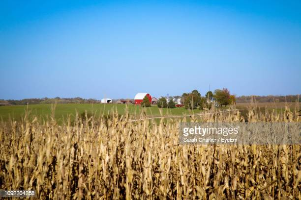 crops growing on field against clear blue sky - iowa stock pictures, royalty-free photos & images