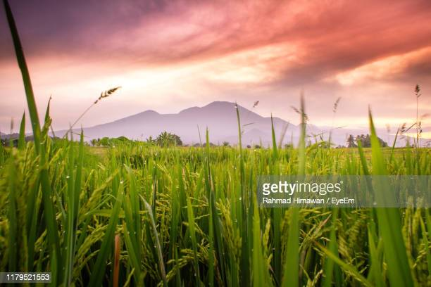 crops growing on field against sky during sunset - rahmad himawan stock photos and pictures