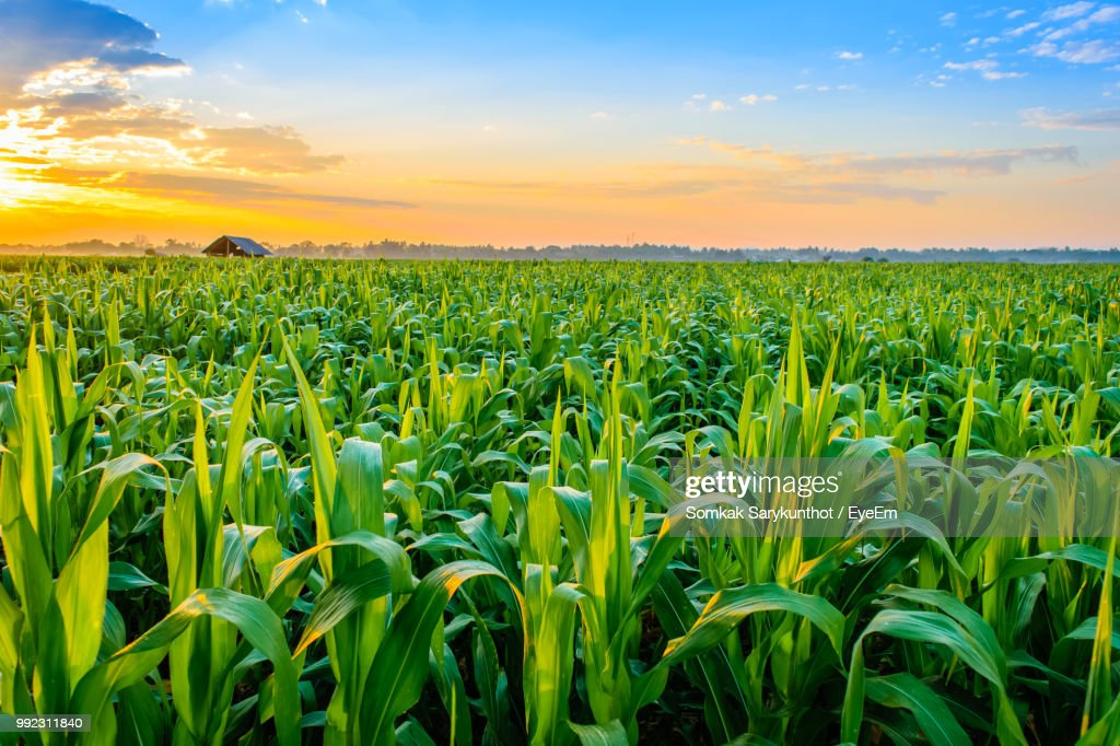 Crops Growing On Field Against Sky During Sunset : Stock Photo