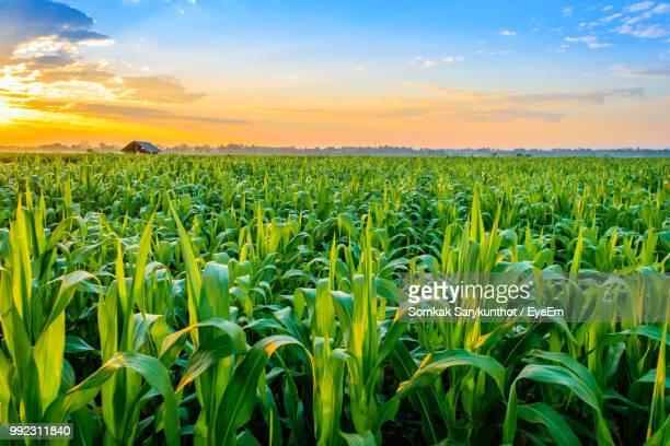 crops growing on field against sky during sunset - corn stock pictures, royalty-free photos & images