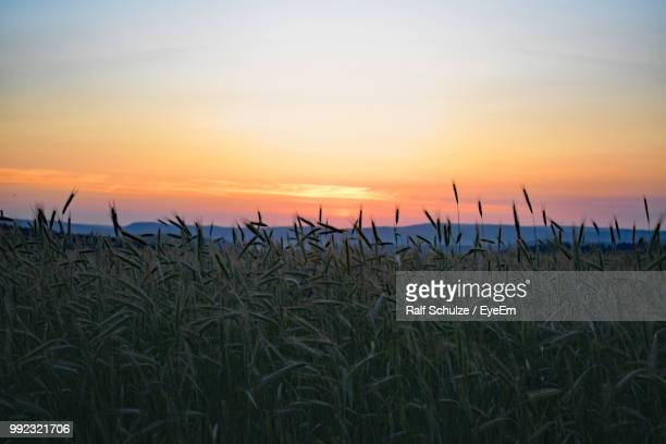 Crops Growing On Field Against Sky During Sunset