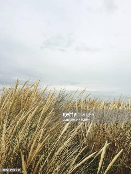 crops growing on field against sky - king's lynn stock pictures, royalty-free photos & images