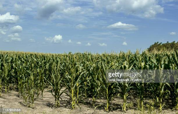 crops growing on field against sky - 南アメリカ ストックフォトと画像