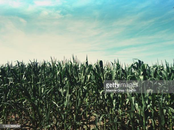 crops growing on field against sky - gras foto e immagini stock