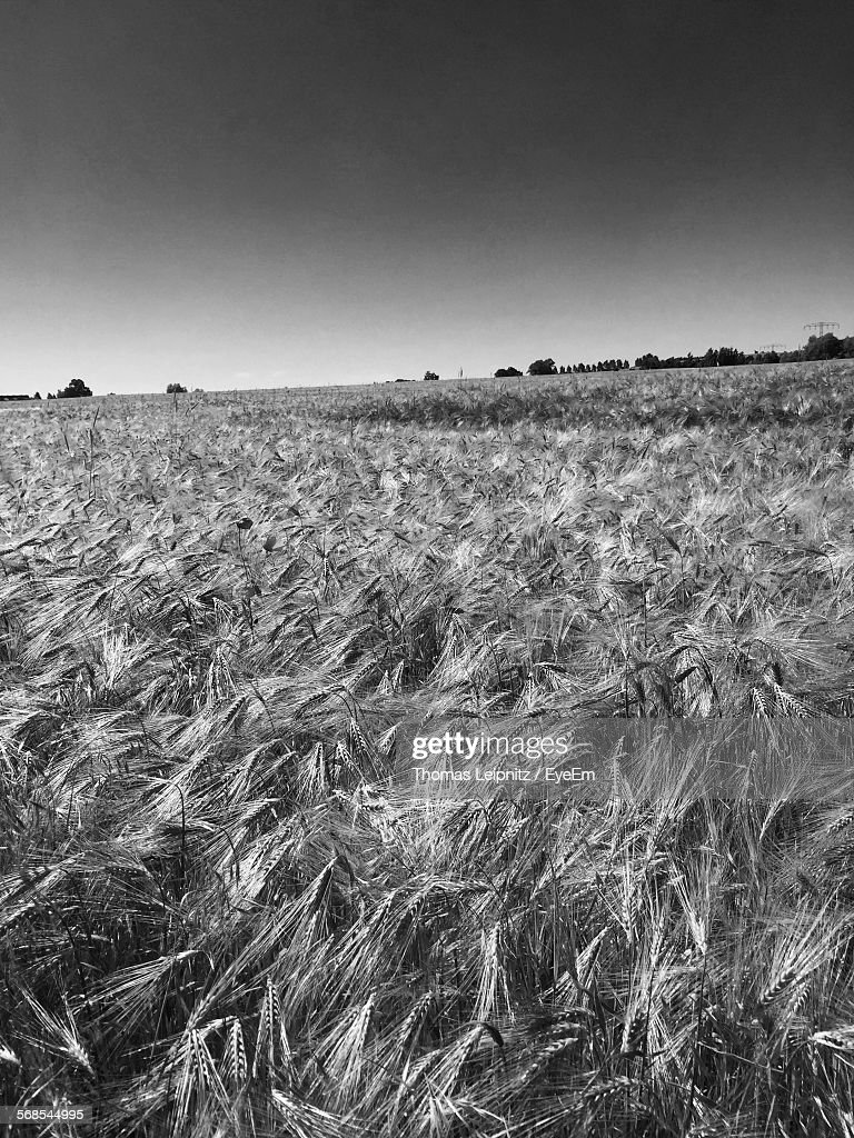 Crops Growing On Field Against Sky : Stock Photo