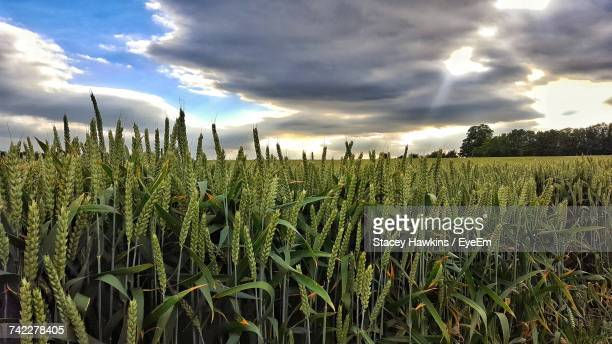 crops growing on field against sky - gillingham stock pictures, royalty-free photos & images