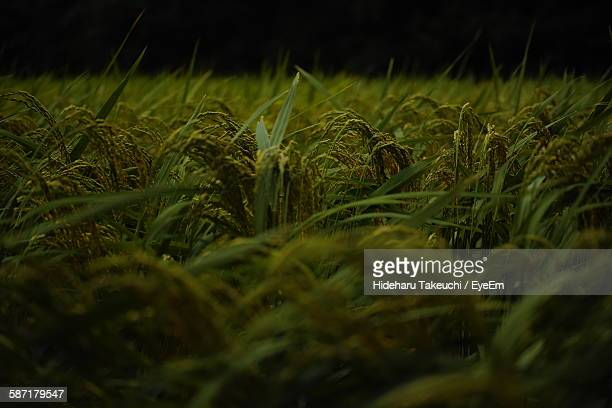 Crops Growing On Field At Night