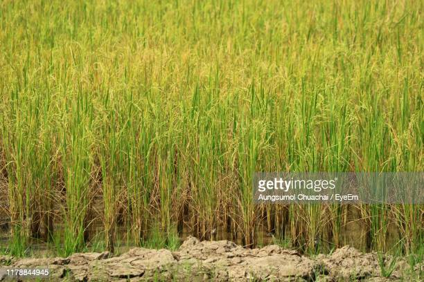 crops growing on field - aungsumol stock pictures, royalty-free photos & images