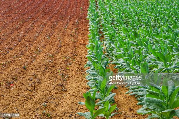 Crops Growing On Field