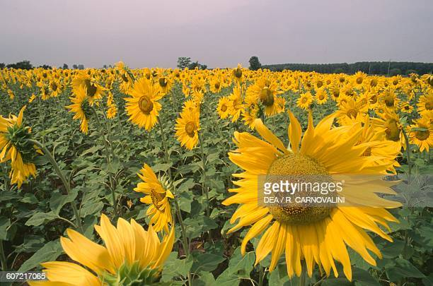 Crops of sunflowers on the Bolognese hills EmiliaRomagna Italy