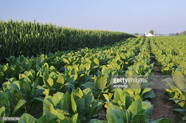crops - lancaster county pennsylvania stock pictures, royalty-free photos & images