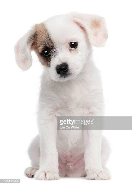 Cross breed puppy (2 months old)