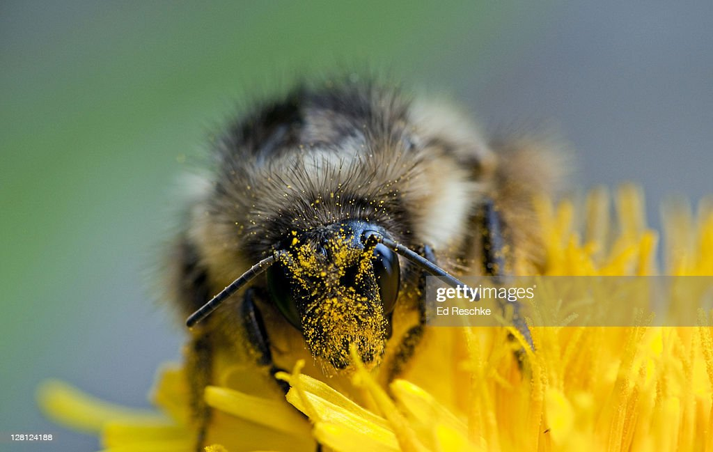 Cross Pollination by Bumble Bee (Bombus sp.) on dandelion, Glacier National Park, Montana, USA : Stock Photo