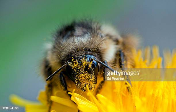 cross pollination by bumble bee (bombus sp.) on dandelion, glacier national park, montana, usa - bumblebee stock pictures, royalty-free photos & images