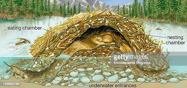 Cross Section Of A Beaver Lodge