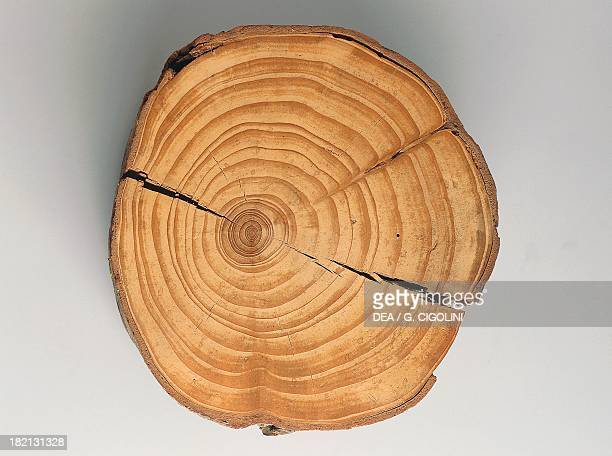 Cross section of a Silver Fir or European Silver Fir trunk fossil Pinaceae Milan Museo Civico Di Storia Naturale