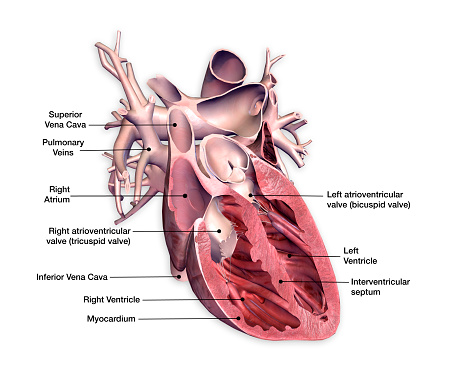 Cross Section of Heart with Labels on White Background 928150486