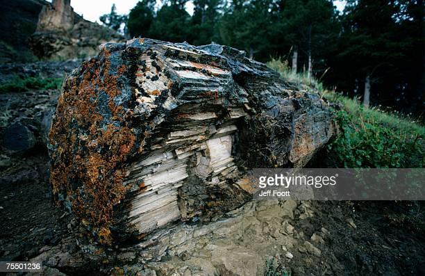 Cross section of petrified tree. Yellowstone NP Wyoming. USA