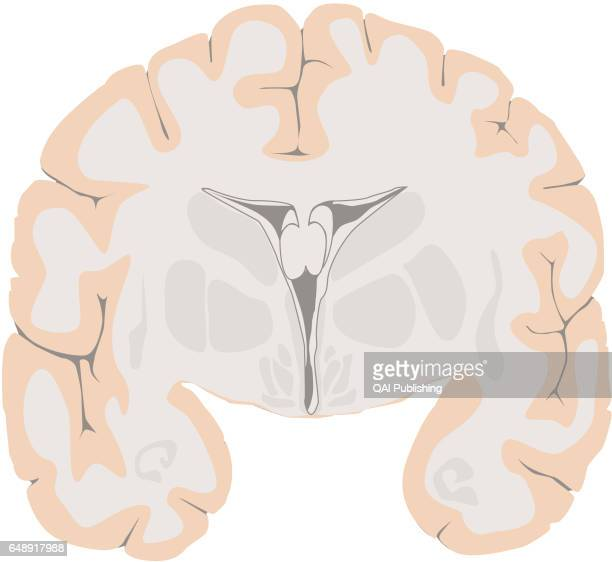 Cross section of the cerebrum The cerebrum is the most voluminous and most complex part of the brain It is made up of two hemispheres subdivided into...