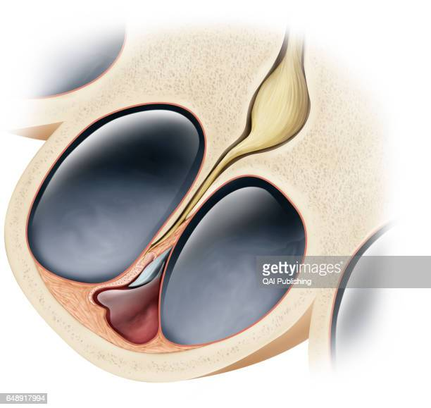 Cross section of the cochlea Sensory organ of hearing formed of a spiral tube filled with various fluids it receives the vibrations of the ossicles...