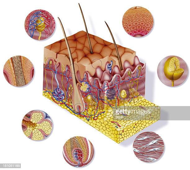 Cross Section Of The Skin And Its Various Constituent Elements Illustration Of The Skin Including Its Various Layers Epidermis Dermis Hypodermis...