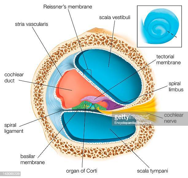 A Cross Section Through One Of The Turns Of The Cochlea Showing The Scala Tympani And Scala Vestibuli And The Cochlear Duct