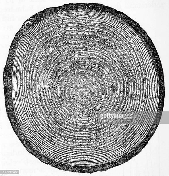 Cross section through tree trunk showing 'year rings' Fir tree Undated woodcut BPA2