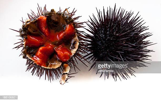 Cross sectional view of sea urchin