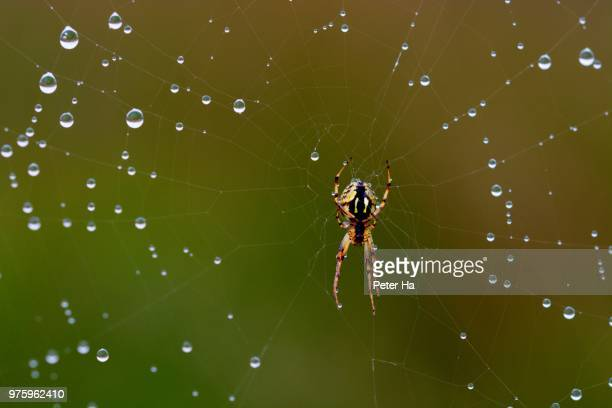 Cross spider and dew on web