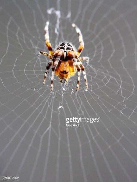 cross spider (araneus diadematus) on cobweb - ニワオニグモ ストックフォトと画像
