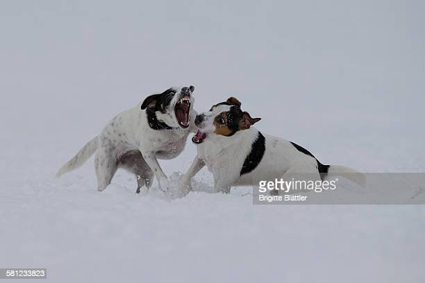 crossbreed dogs playing in snow - dog fight stock pictures, royalty-free photos & images