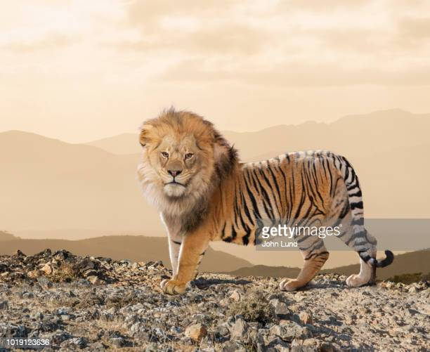 Crossbreed Lion And Tiger