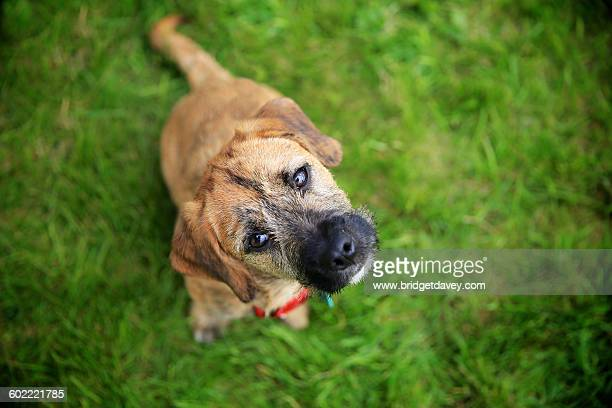 Crossbreed Terrier looking at Camera